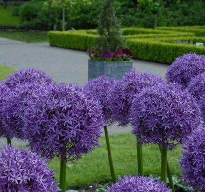 "Description:""Globemaster"" 85cm flowers June"