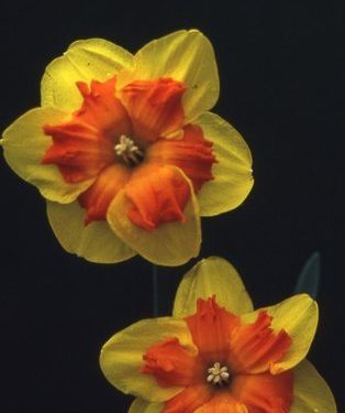 Description: This very brightly coloured flower has been selected for its vigour and suitability for show