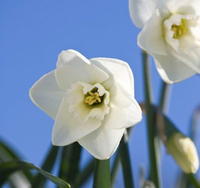 "2W-GWW(M)""Misty Glen"" AGM An impeccably formed white flower enhanced by the deep green in the eye of the corona."