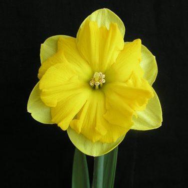 Description:An excellent plant for the garden