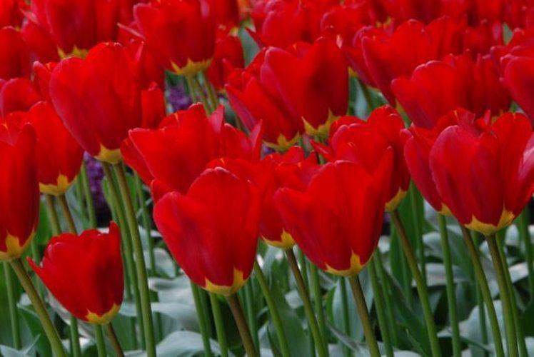 Spring Garden 50/60cm (M) Per pack of 10 bulbs