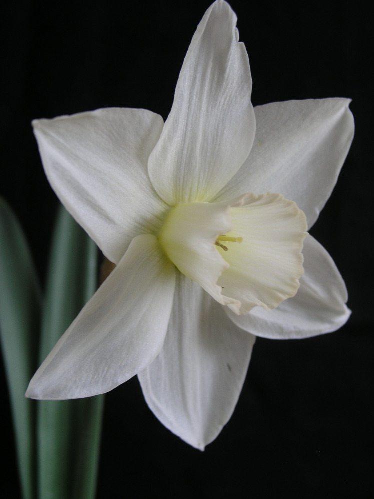 White Plume 2W-W (L) 40/60cm Per pack of 3