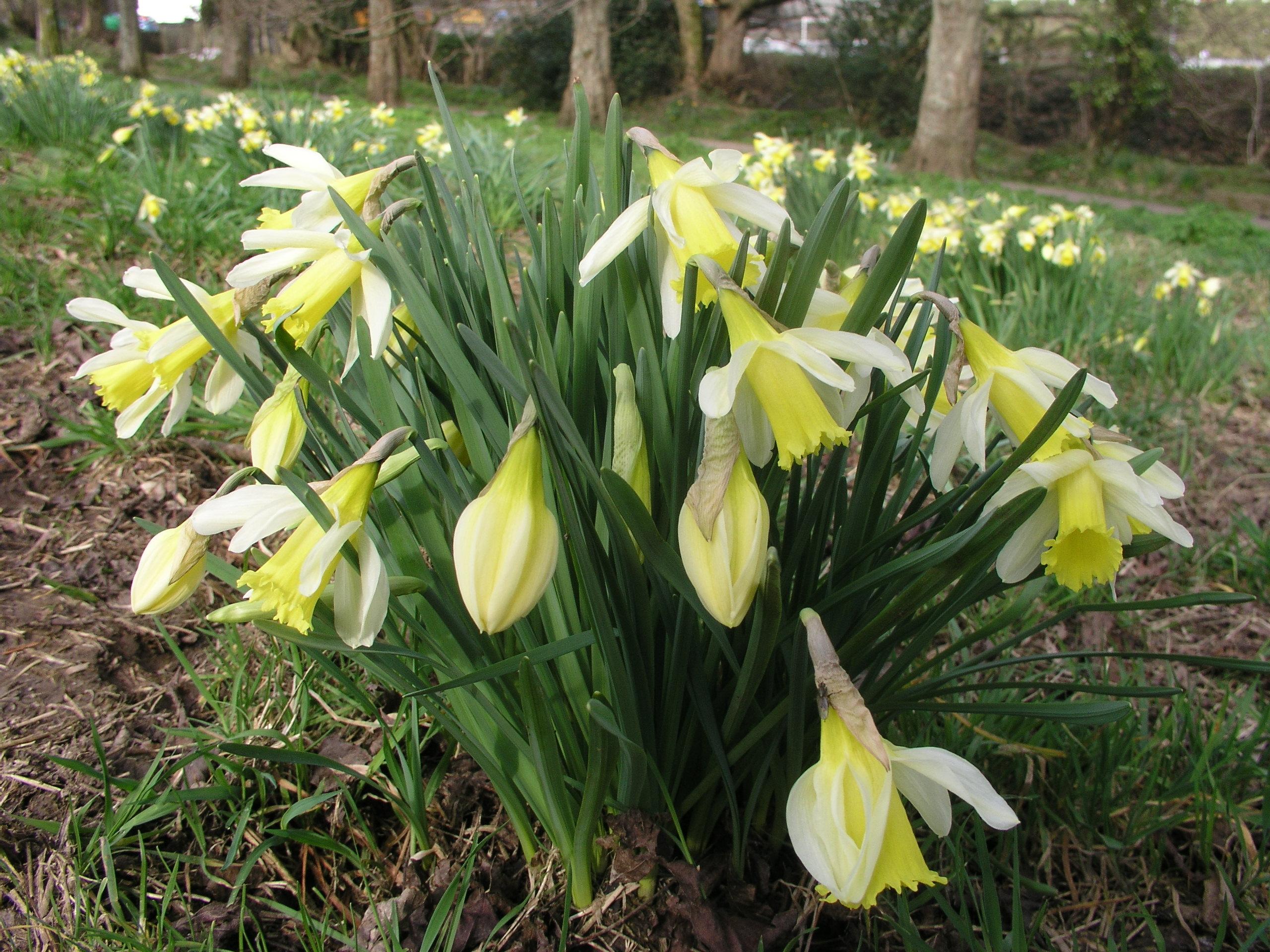 n. pseudo narcissus lobularis (English Wild Daffodil)13Y-W   (E)30/50cm Per pack of 10, 100, 1000
