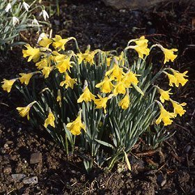 "1Y-Y(E)""Little Gem""AGM HybridA well-formed miniature trumpet daffodil of great vigour; ideal for the rock garden."