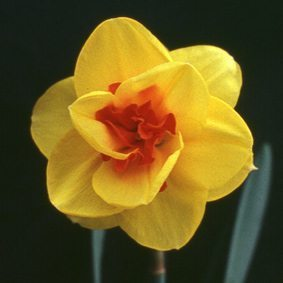 "4Y-R (E) ""Tamar Fire"" AGM One of the brightest double daffodils in its colour range; standing well in the garden."