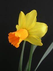 "6Y-O(E) ""Jetfire"" AGM A cyclamineus daffodil with orange corona; vigorous and free-flowering; early season."
