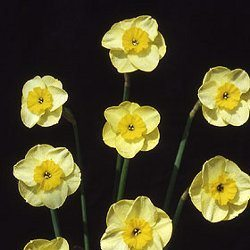 "7Y-Y(L)""Sun Disc"" AGM Hybrid Flowers like gleaming little gold discs; ideal for the rock garden."