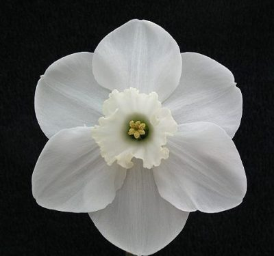 Description:This is a large very broad flower of pure White with a hint of Green in the centre of the frilled cup