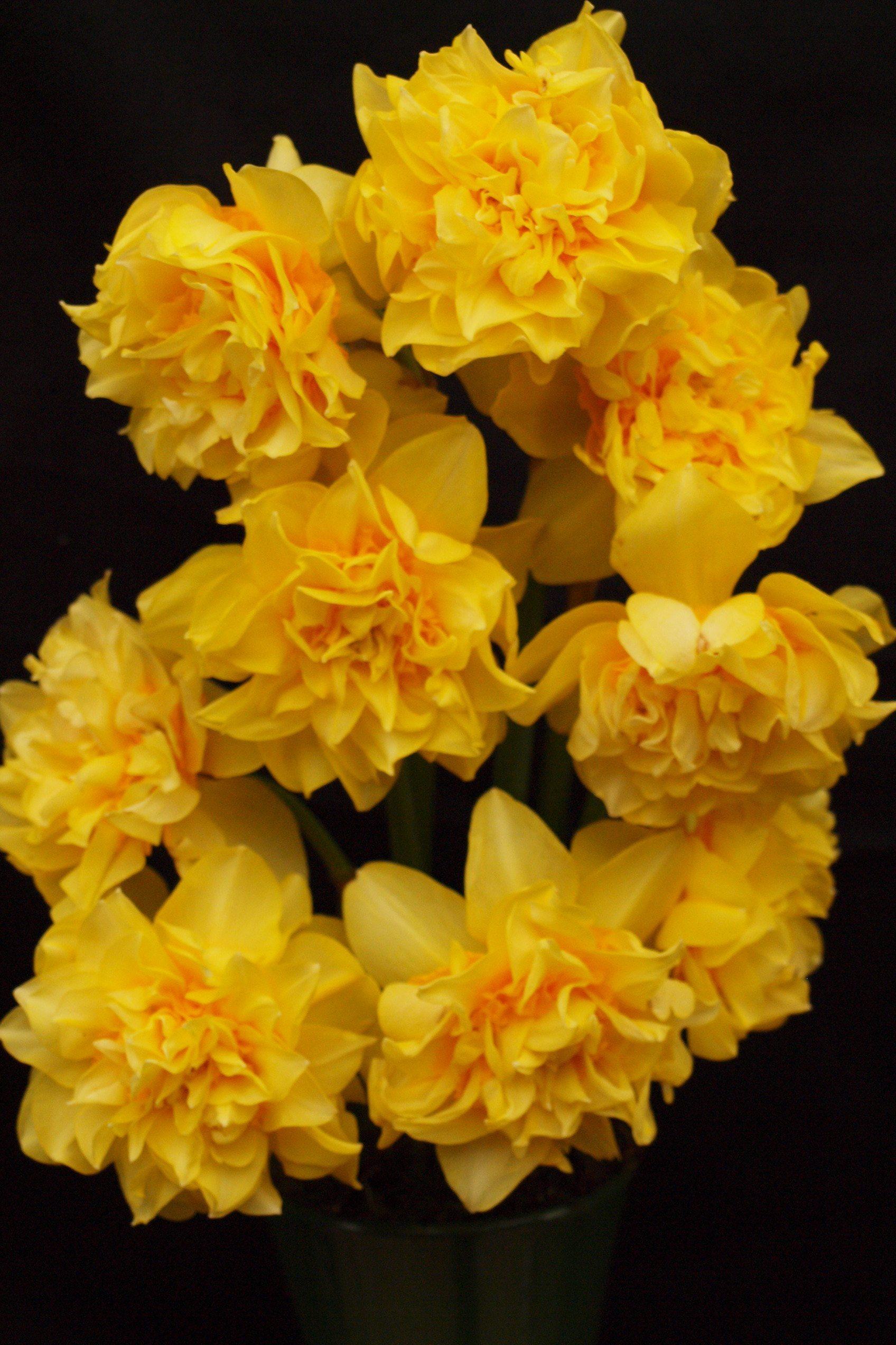 Golden Phoenix ( Butter & Eggs) 4Y-O (VE) 40/60cm Pre 1777 Per pack of 3