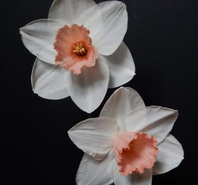 Description:This is a very strong and vigorous plant that produces many good show flowers. I have successfully shown this several times both at local and national shows. The per
