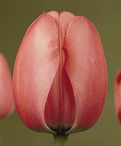 Pink Impression 55/60cm (M) Per pack of 10