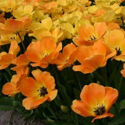 "Description: ""Day Dream"" Sturdy Mid season Tulip."