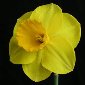 "2Y-Y(M)""Gold Convention""AGMSmooth flower of beautiful form and deepest yellow; strong constitution and good pose."