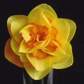 "4Y-O(M)""Crackington"" AGM Reliable orange and yellow double daffodil of rapid increase; standing well in all weathers."