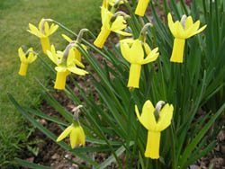 "6Y-Y(EM) ""Rapture""AGM One of the most perfectly formed of all the golden yellow daffodils with swept-back petals."