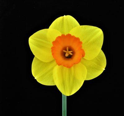 Saffron Celebration 2Y-R 946 2Y-R