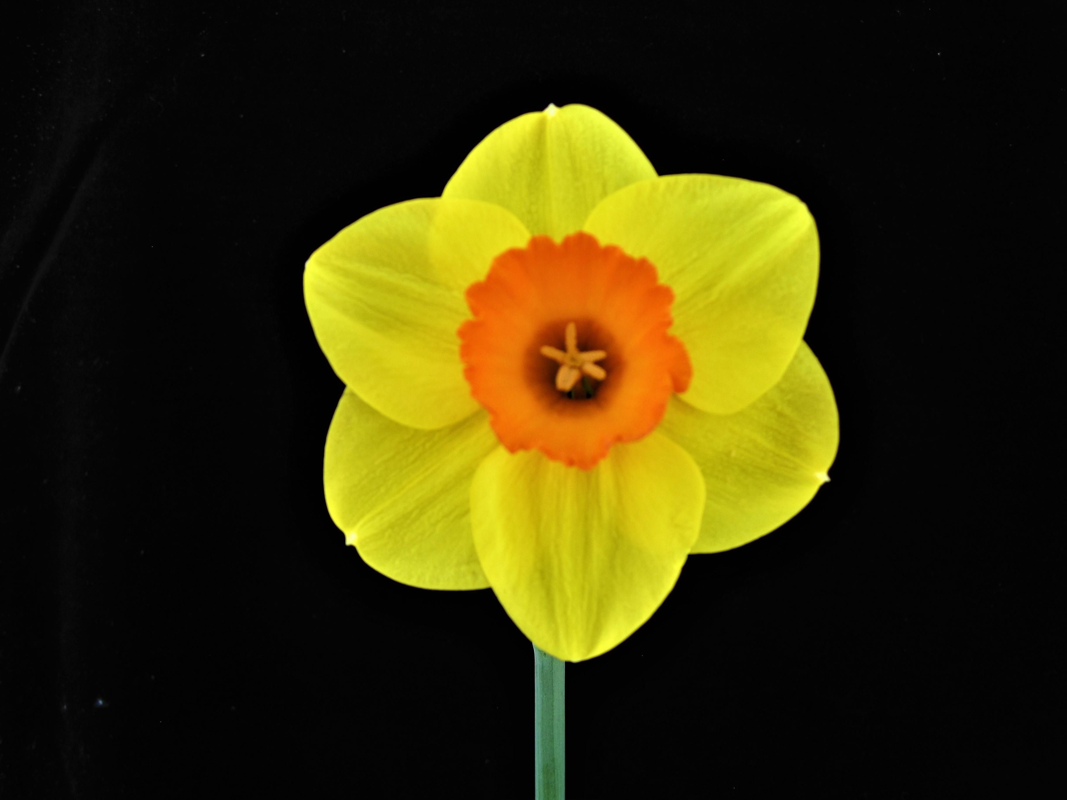 Saffron Celebration 2Y-R (M) 40/60cm Per pack of 3