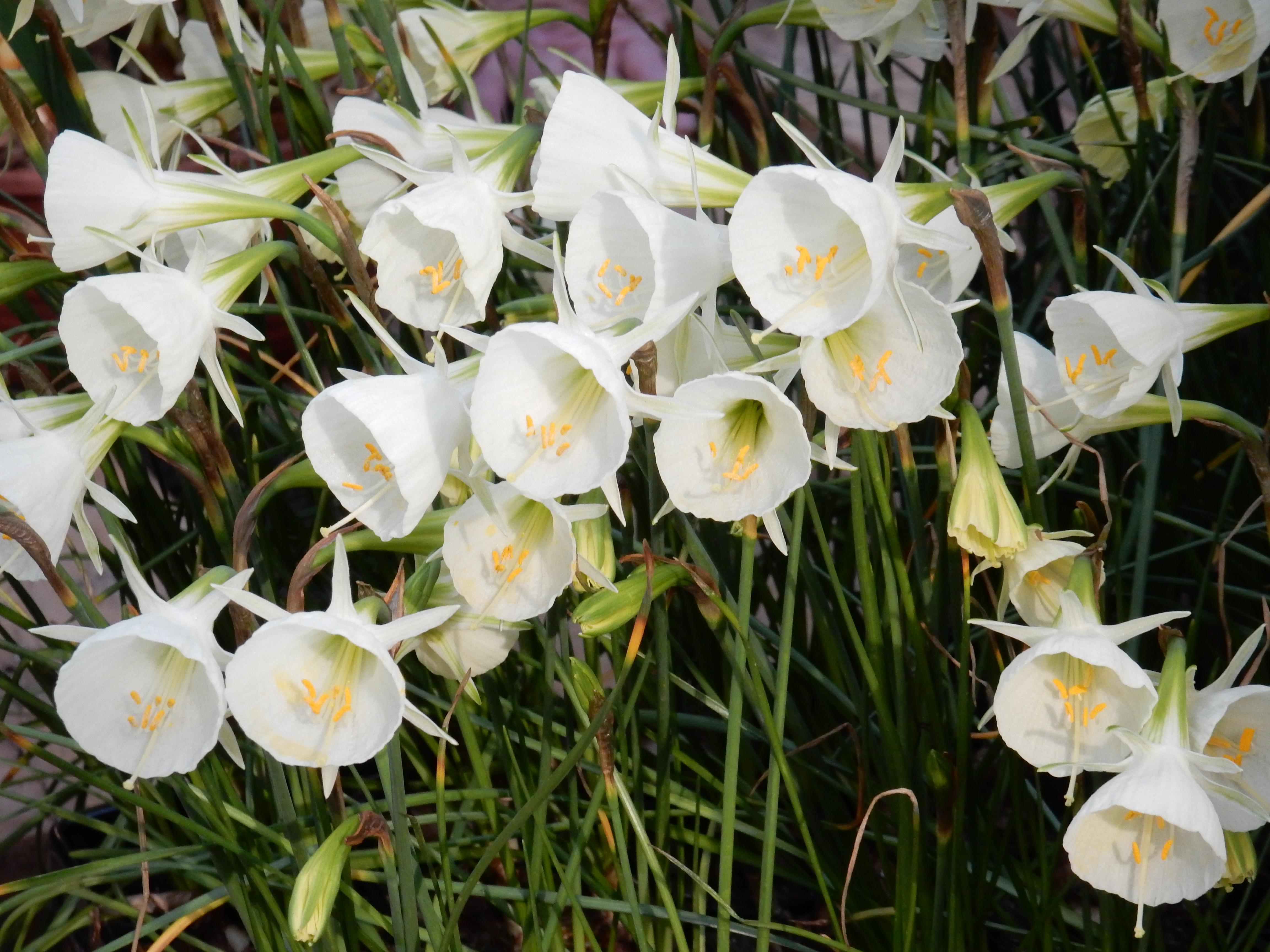 White Petticoat 10W-W (EM) 10/30cm Per pack of 5